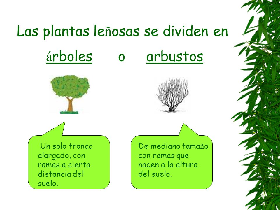 Las plantas leñosas se dividen en árboles o arbustos