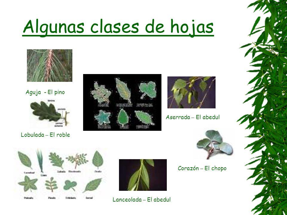 Algunas clases de hojas