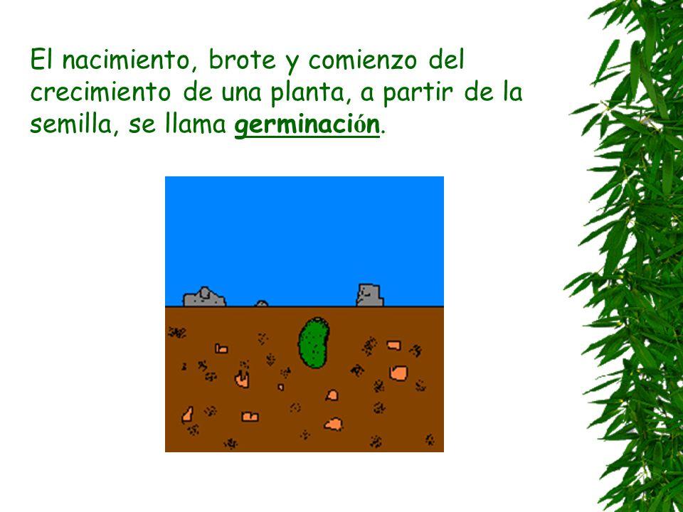 El nacimiento, brote y comienzo del crecimiento de una planta, a partir de la semilla, se llama germinación.