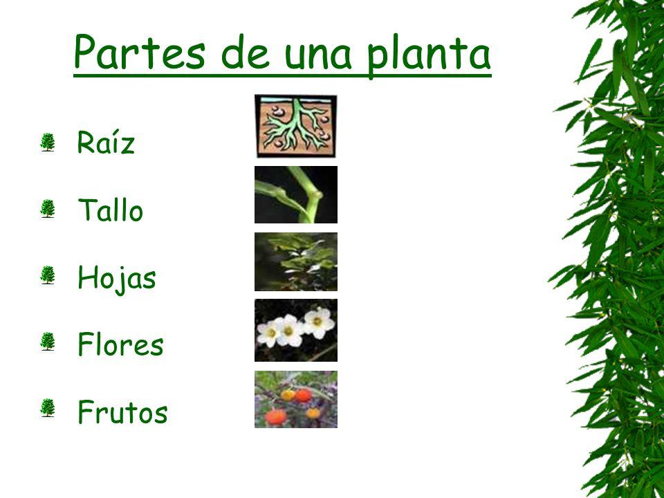 Partes de una planta Raíz Tallo Hojas Flores Frutos