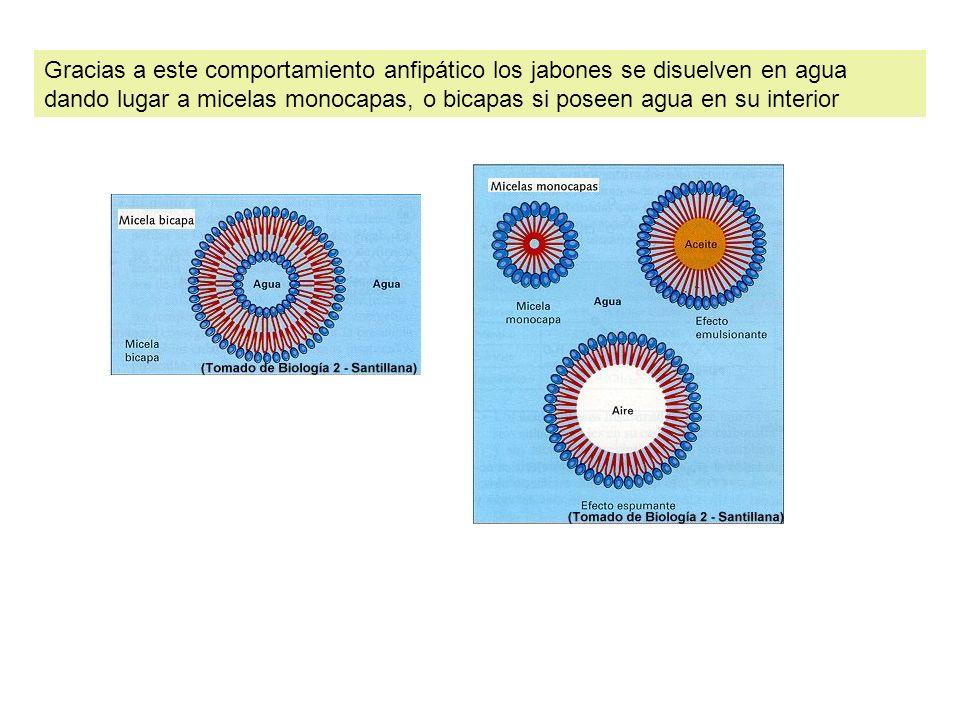 Gracias a este comportamiento anfipático los jabones se disuelven en agua dando lugar a micelas monocapas, o bicapas si poseen agua en su interior