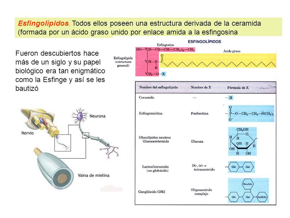 Esfingolípidos. Todos ellos poseen una estructura derivada de la ceramida (formada por un ácido graso unido por enlace amida a la esfingosina