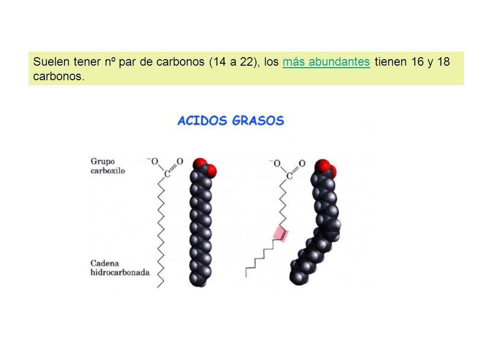 Suelen tener nº par de carbonos (14 a 22), los más abundantes tienen 16 y 18 carbonos.