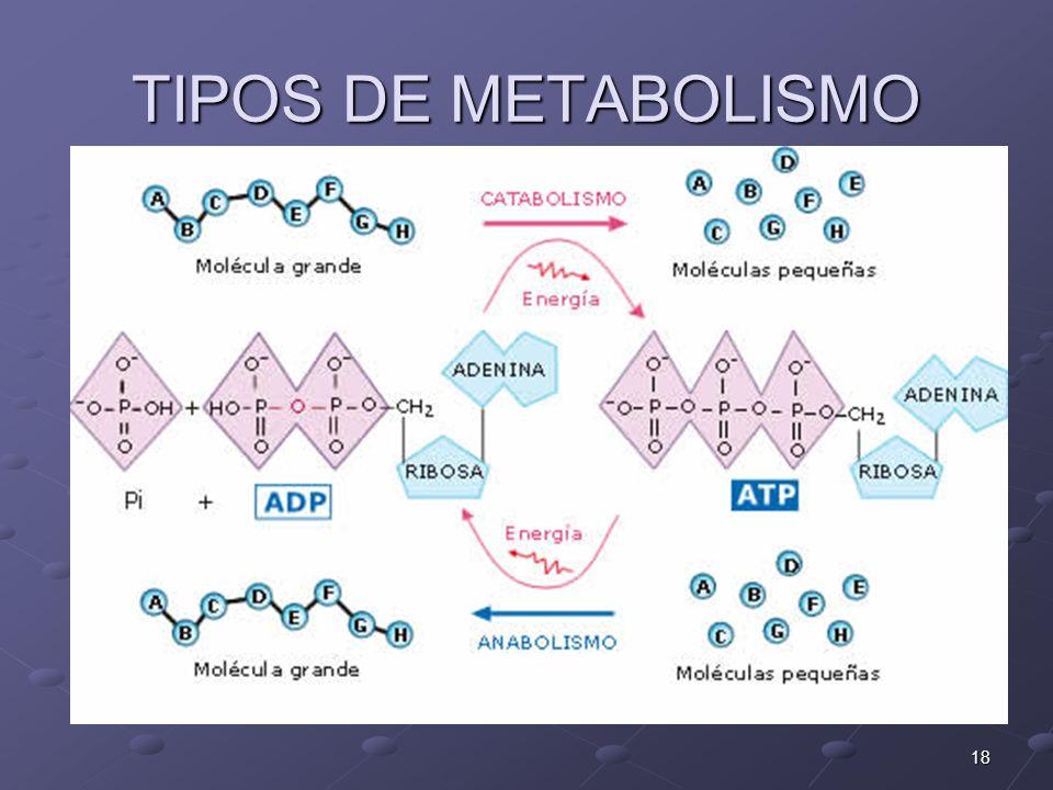 TIPOS DE METABOLISMO