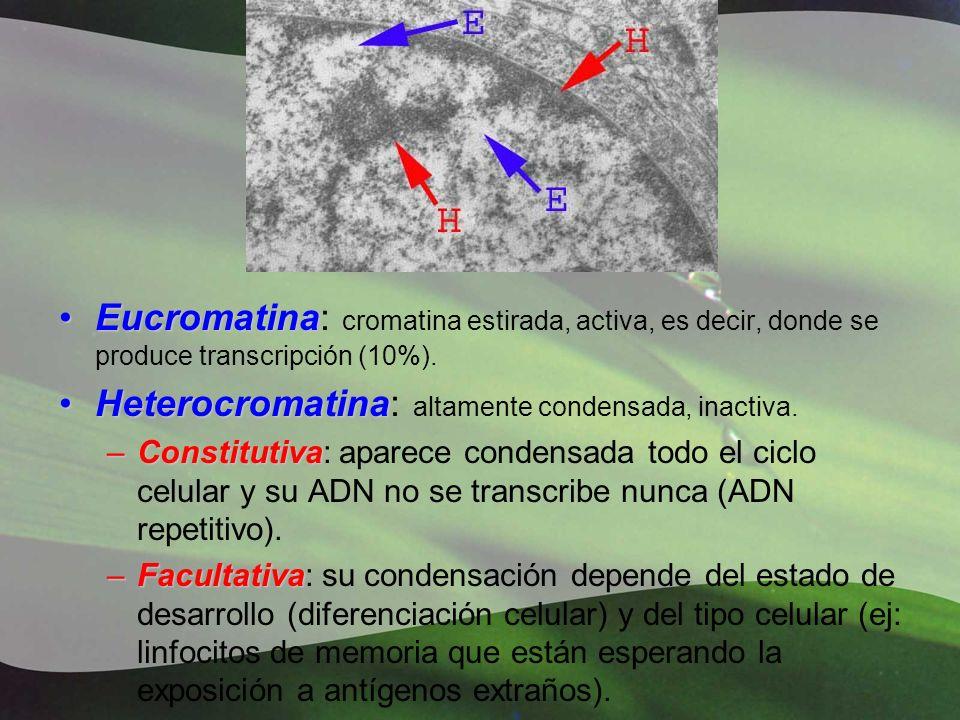 Heterocromatina: altamente condensada, inactiva.
