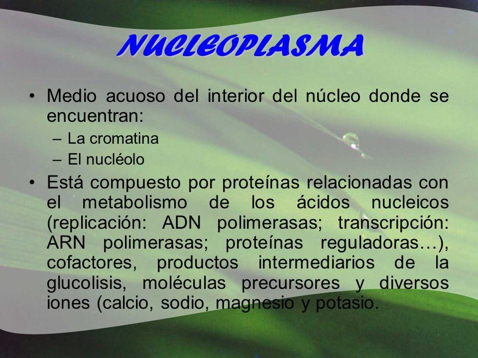 NUCLEOPLASMA Medio acuoso del interior del núcleo donde se encuentran: