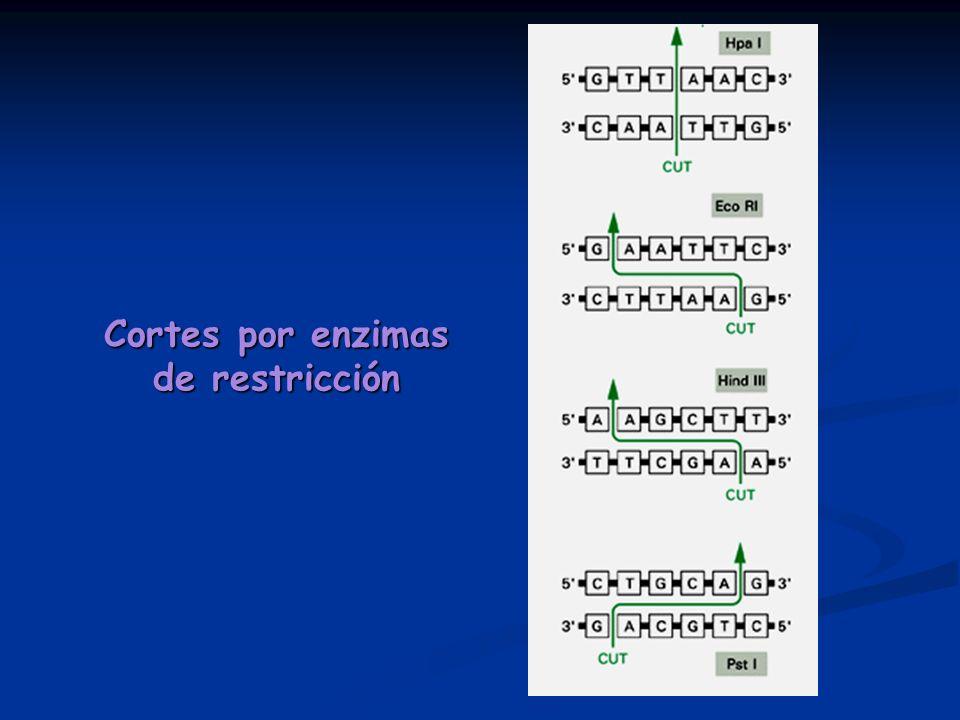 Cortes por enzimas de restricción