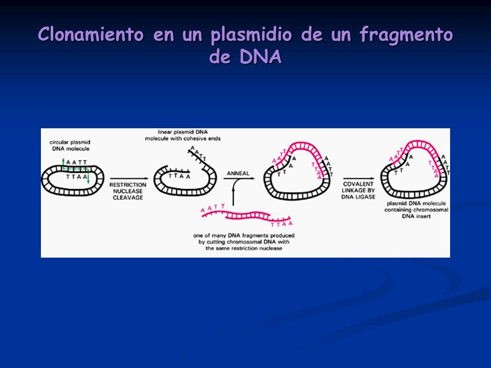Clonamiento en un plasmidio de un fragmento de DNA