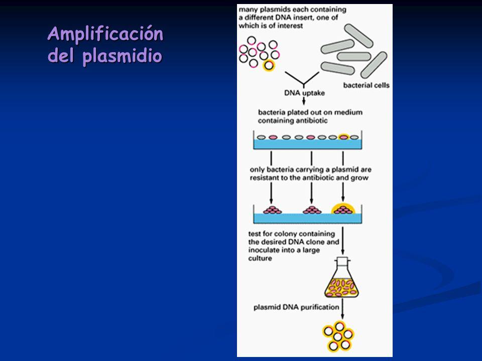 Amplificación del plasmidio