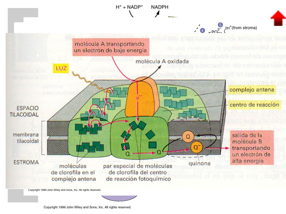 VERDE: clorofila a AZUL: clorofila b AMARILLO: xantofilas