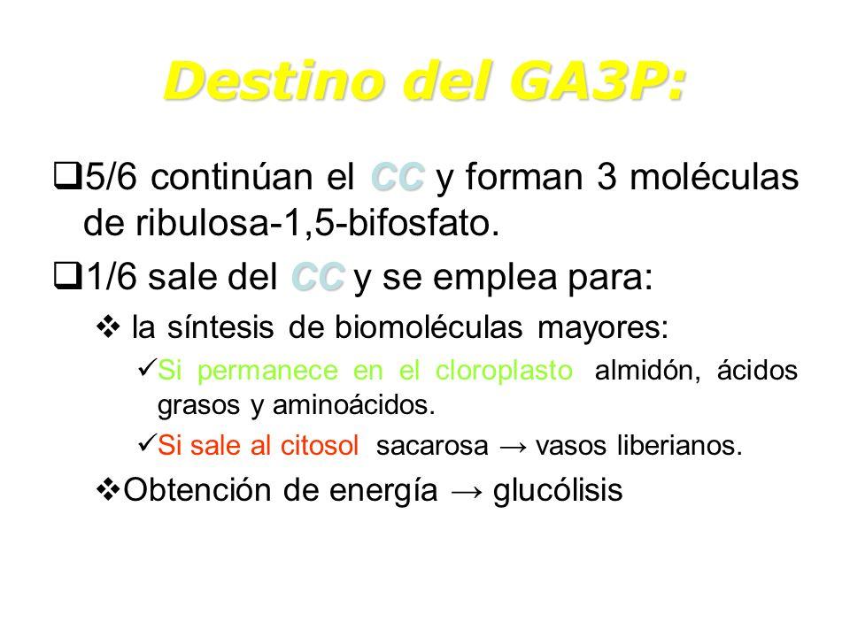 Destino del GA3P: 5/6 continúan el CC y forman 3 moléculas de ribulosa-1,5-bifosfato. 1/6 sale del CC y se emplea para: