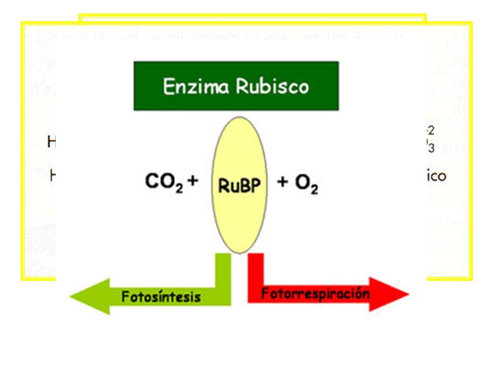 Fotorrespiración La enzima ribulosa bifosfato carboxilasa oxidasa puede actuar de 2 maneras: en presencia de CO2: