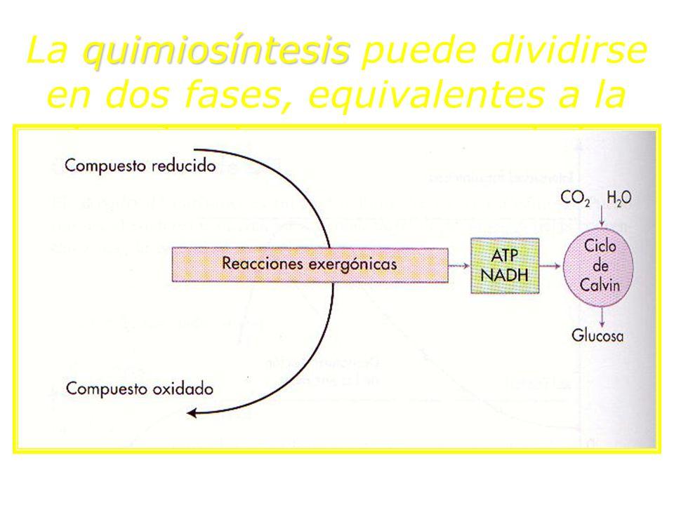 La quimiosíntesis puede dividirse en dos fases, equivalentes a la fase luminosa y oscura de la fotosíntesis: