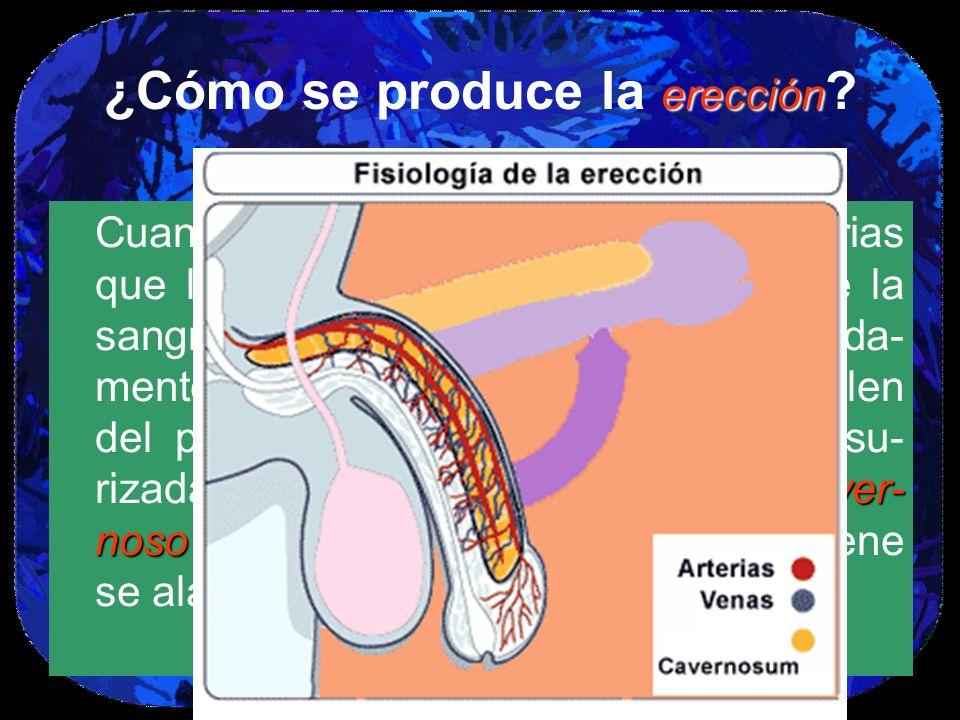 ¿Cómo se produce la erección