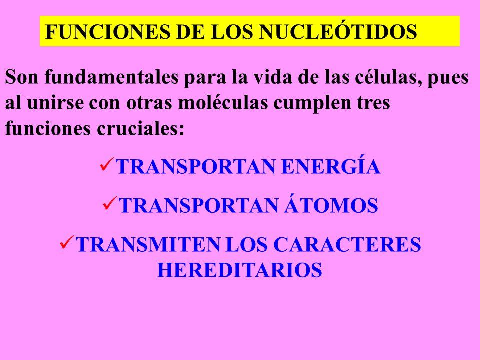 TRANSMITEN LOS CARACTERES HEREDITARIOS