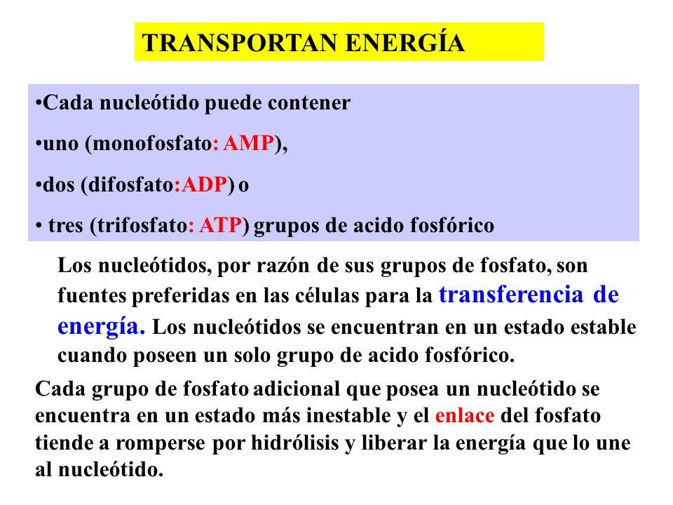 TRANSPORTAN ENERGÍA Cada nucleótido puede contener
