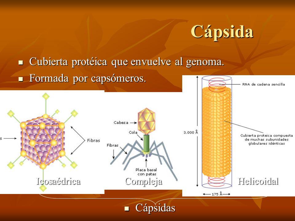 Cápsida Cubierta protéica que envuelve al genoma.