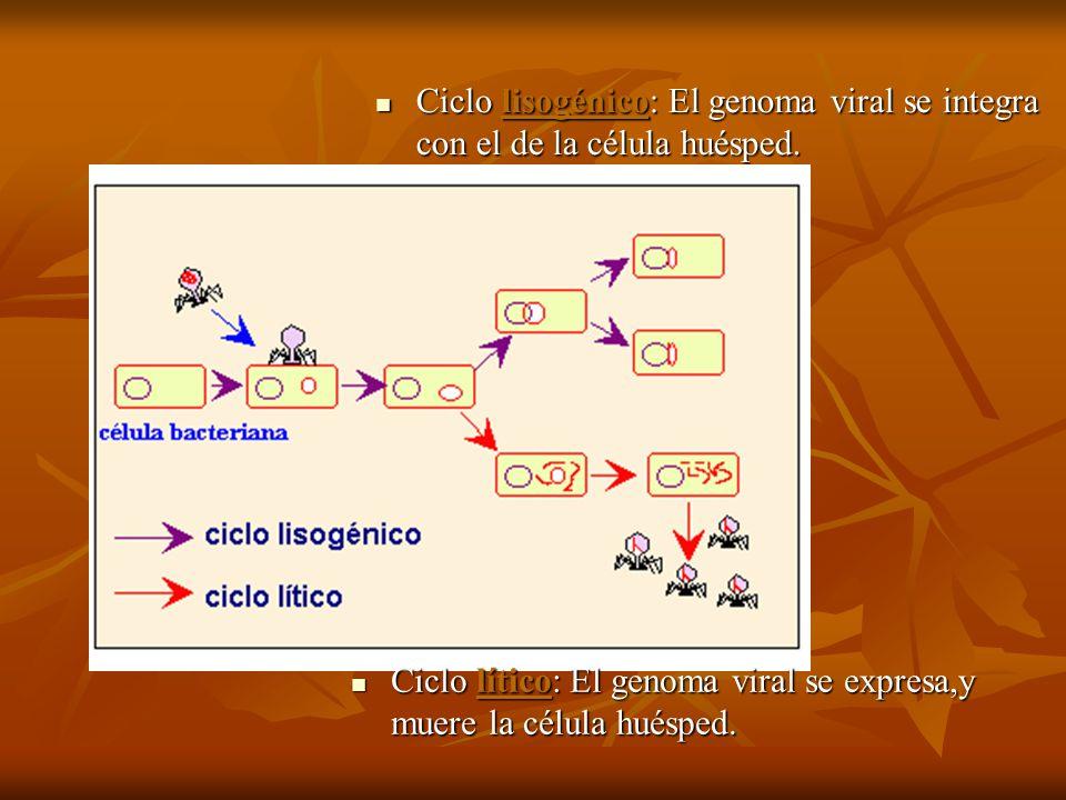 Ciclo lisogénico: El genoma viral se integra con el de la célula huésped.