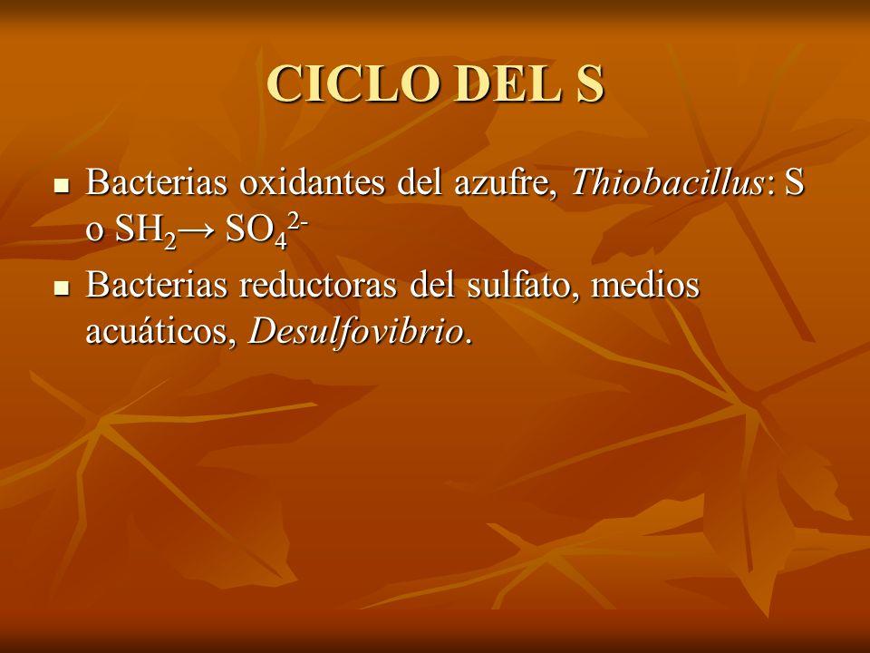 CICLO DEL S Bacterias oxidantes del azufre, Thiobacillus: S o SH2→ SO42- Bacterias reductoras del sulfato, medios acuáticos, Desulfovibrio.