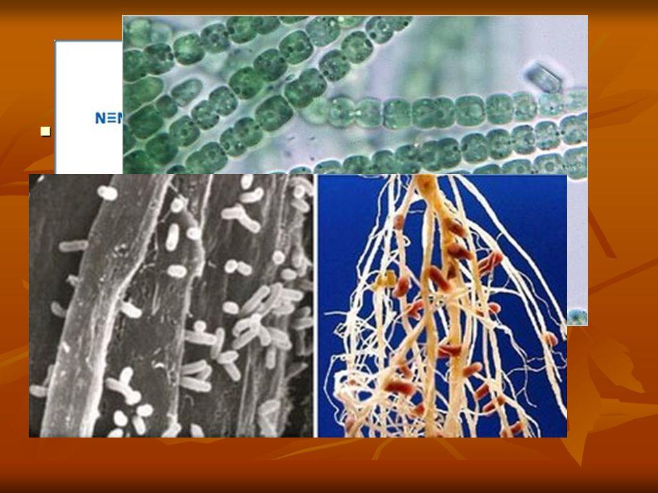 CICLO DEL N Bacterias fijadoras del nitrógeno: