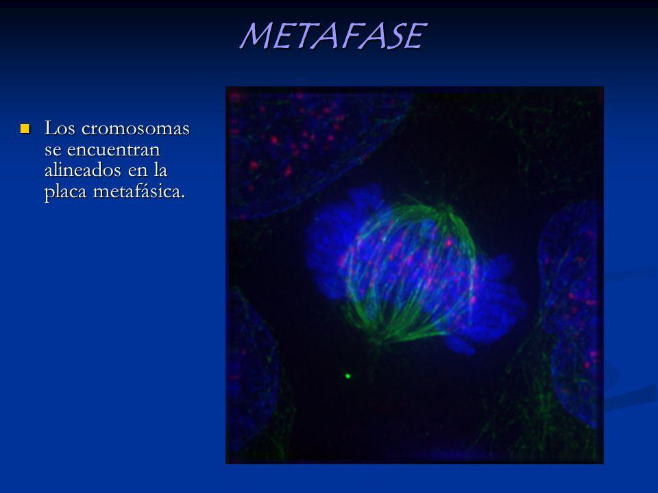 METAFASE Los cromosomas se encuentran alineados en la placa metafásica.