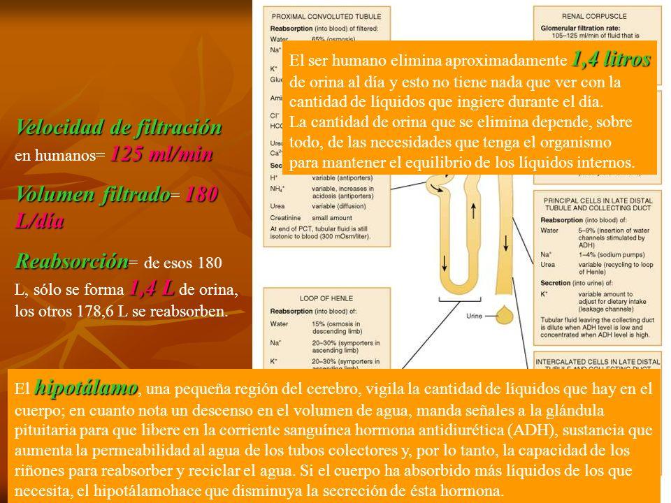 Velocidad de filtración en humanos= 125 ml/min