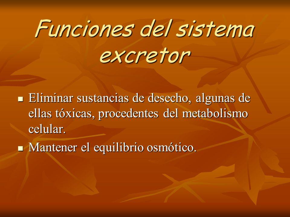 Funciones del sistema excretor