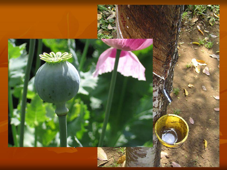 El látex es el jugo propio de muchos vegetales, especialmente de las familias de las euforbiáceas y moráceas, que circula por los vasos laticíferos. Es producido por las células secretoras del floema.
