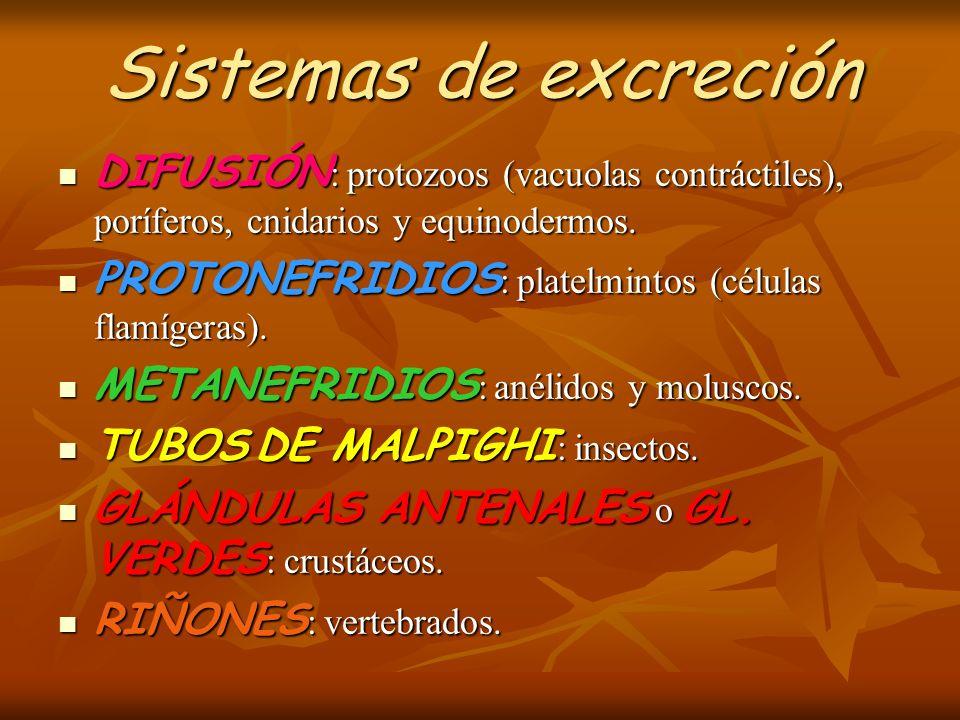 Sistemas de excreción DIFUSIÓN: protozoos (vacuolas contráctiles), poríferos, cnidarios y equinodermos.