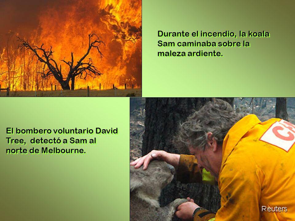 Durante el incendio, la koala