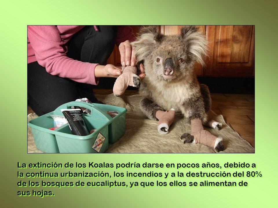 La extinción de los Koalas podría darse en pocos años, debido a