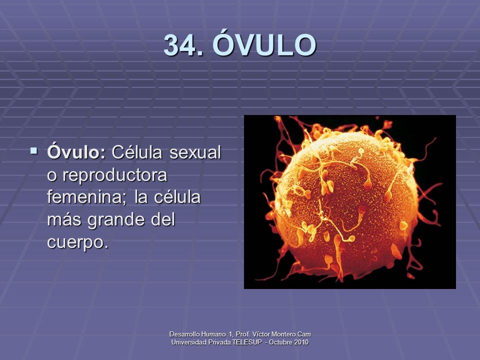34. ÓVULO Óvulo: Célula sexual o reproductora femenina; la célula más grande del cuerpo.