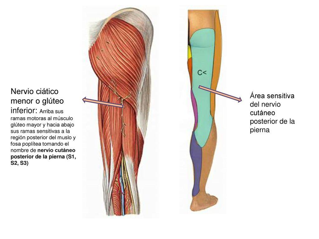 Vistoso Nervios Del Muslo Imagen - Anatomía de Las Imágenesdel ...