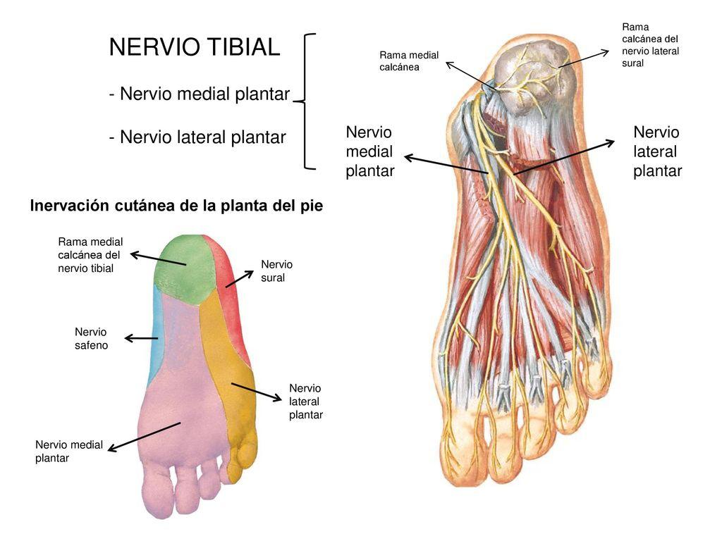 Único Nervio Sural Elaboración - Anatomía de Las Imágenesdel Cuerpo ...