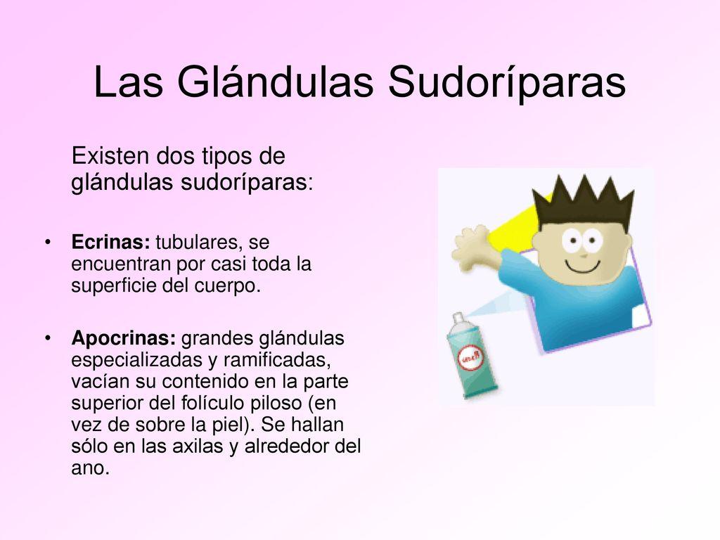 Excepcional Glándulas Ecrinas Galería - Anatomía de Las Imágenesdel ...