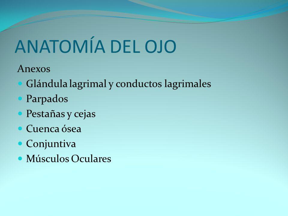 ANATOMÍA DEL OJO Anexos Glándula lagrimal y conductos lagrimales