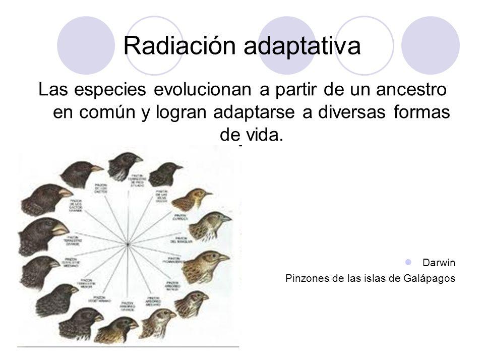 Radiación adaptativa Las especies evolucionan a partir de un ancestro en común y logran adaptarse a diversas formas de vida.