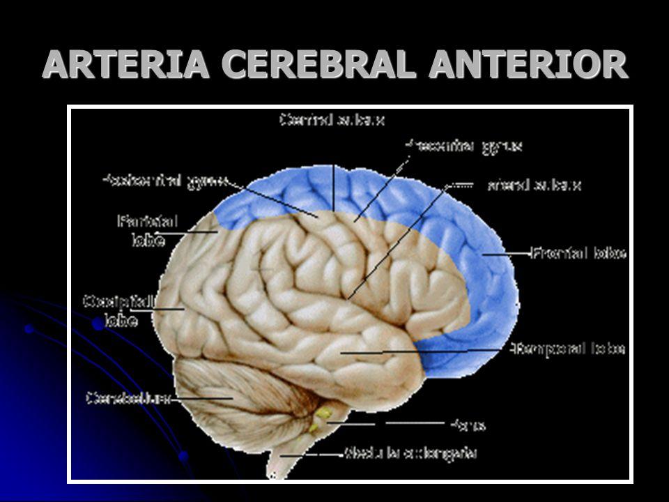 ARTERIA CEREBRAL ANTERIOR
