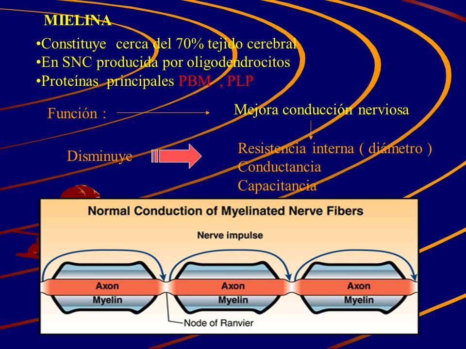 MIELINA Constituye cerca del 70% tejido cerebral. En SNC producida por oligodendrocitos. Proteínas principales PBM , PLP.