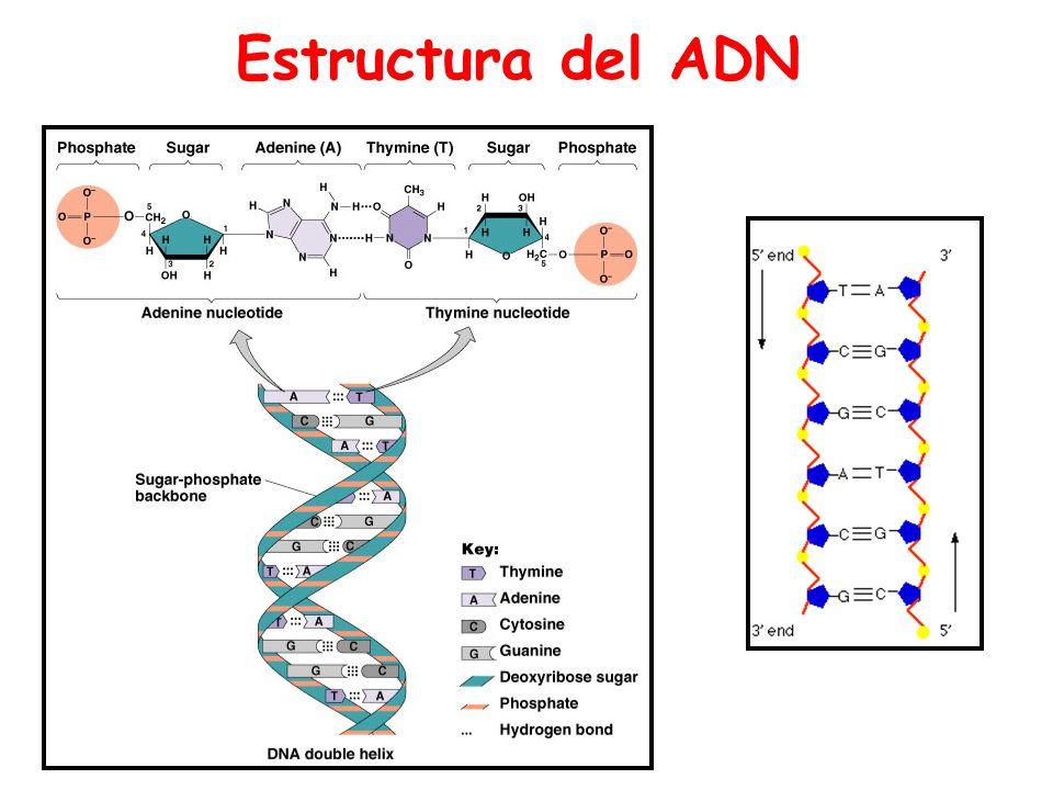 Imagenes Estructuras Del Adn Estructura Del Adn Ppt Video