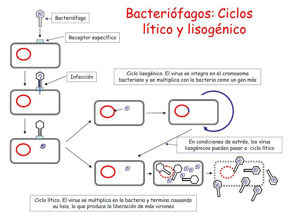 Bacteriófagos: Ciclos lítico y lisogénico