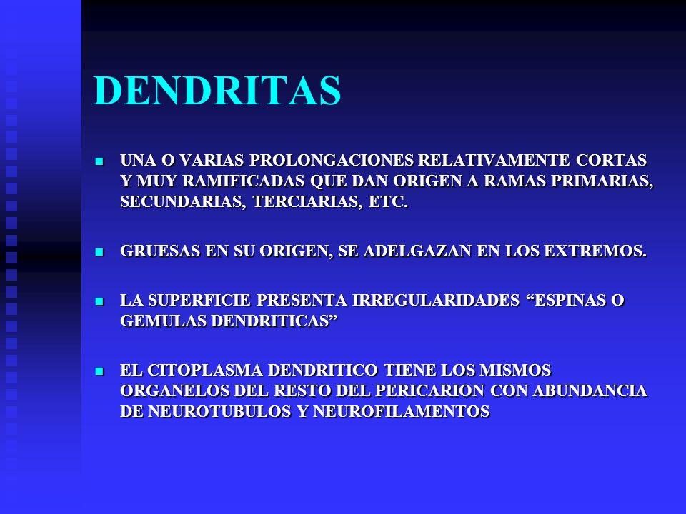 DENDRITAS UNA O VARIAS PROLONGACIONES RELATIVAMENTE CORTAS Y MUY RAMIFICADAS QUE DAN ORIGEN A RAMAS PRIMARIAS, SECUNDARIAS, TERCIARIAS, ETC.