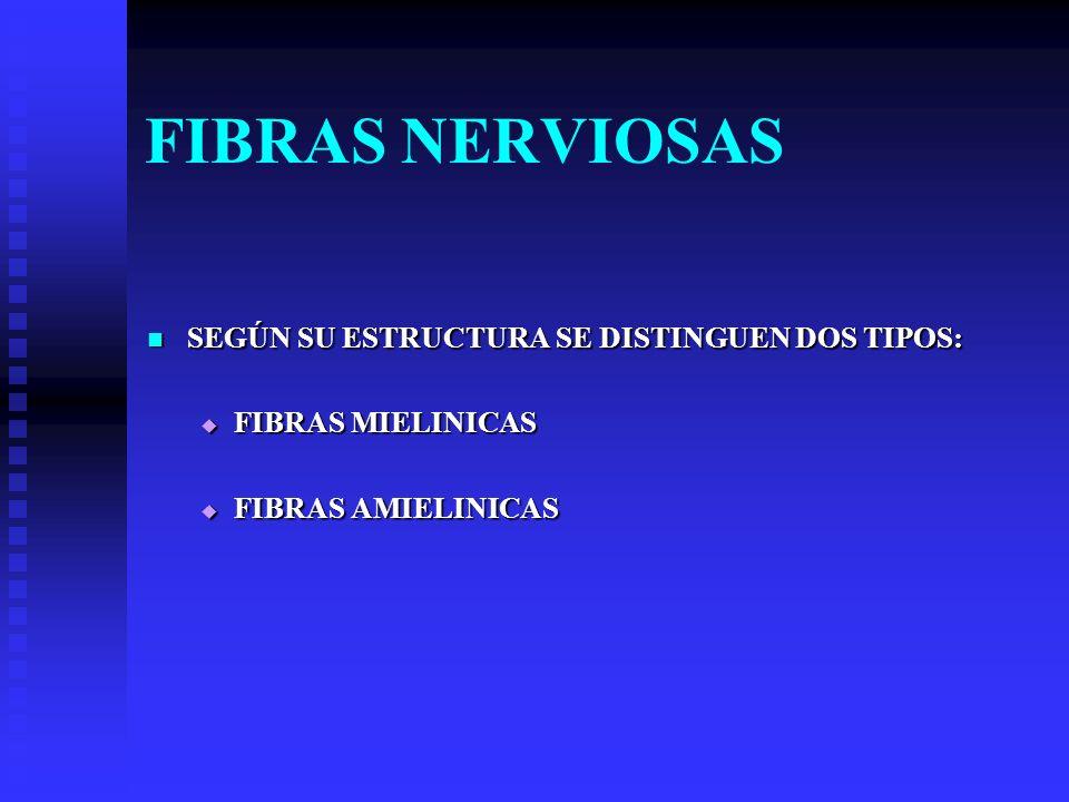 FIBRAS NERVIOSAS SEGÚN SU ESTRUCTURA SE DISTINGUEN DOS TIPOS: