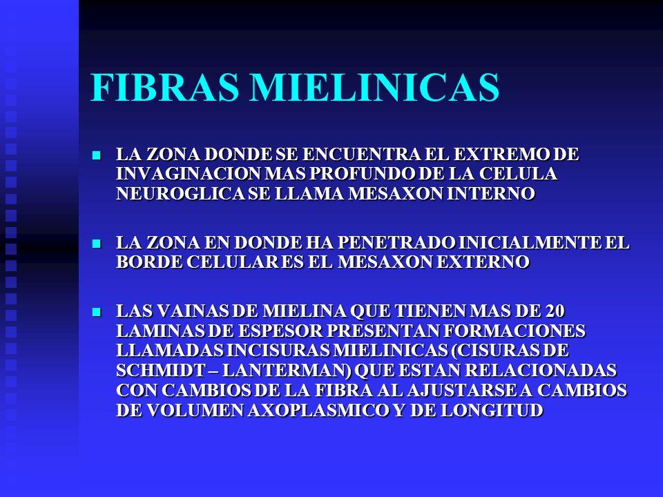 FIBRAS MIELINICAS LA ZONA DONDE SE ENCUENTRA EL EXTREMO DE INVAGINACION MAS PROFUNDO DE LA CELULA NEUROGLICA SE LLAMA MESAXON INTERNO.
