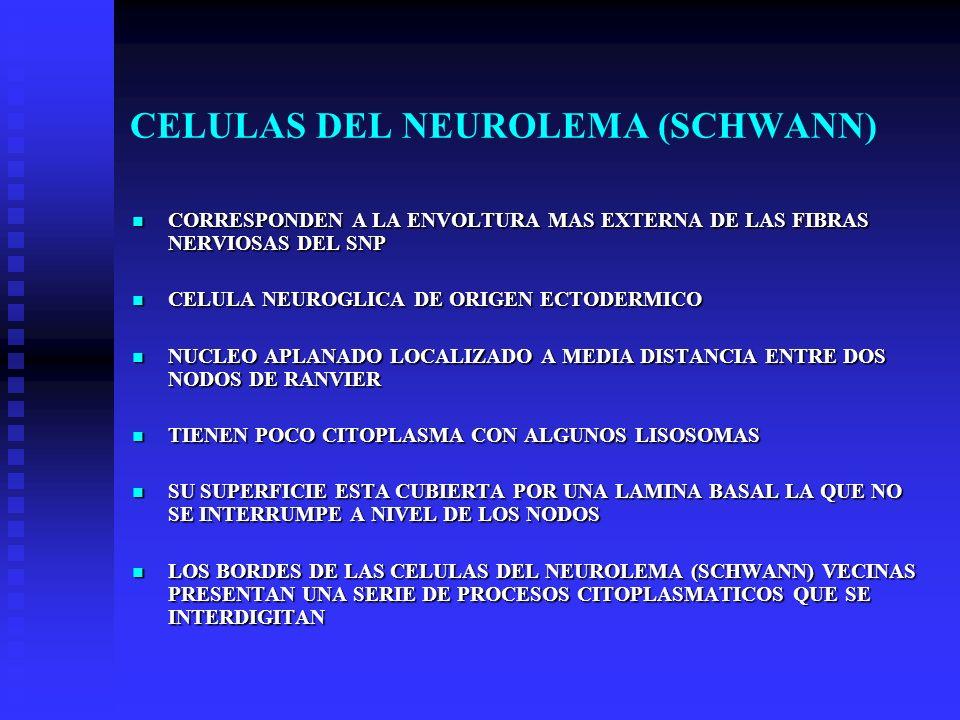 CELULAS DEL NEUROLEMA (SCHWANN)