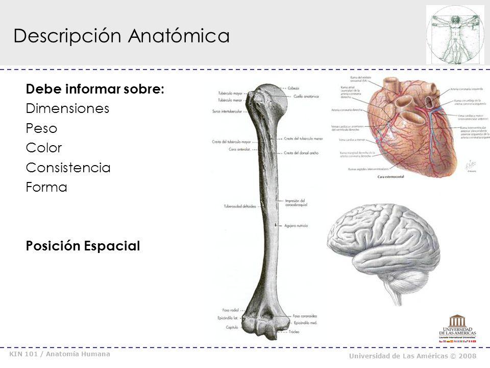 Descripción Anatómica