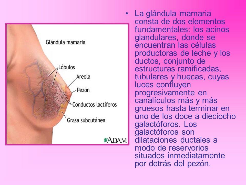 La glándula mamaria consta de dos elementos fundamentales: los acinos glandulares, donde se encuentran las células productoras de leche y los ductos, conjunto de estructuras ramificadas, tubulares y huecas, cuyas luces confluyen progresivamente en canalículos más y más gruesos hasta terminar en uno de los doce a dieciocho galactóforos.