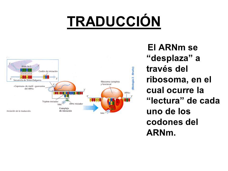 TRADUCCIÓN El ARNm se desplaza a través del ribosoma, en el cual ocurre la lectura de cada uno de los codones del ARNm.