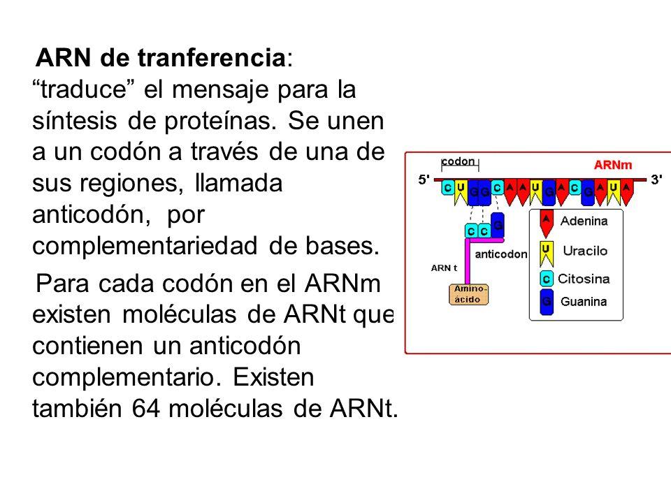 ARN de tranferencia: traduce el mensaje para la síntesis de proteínas. Se unen a un codón a través de una de sus regiones, llamada anticodón, por complementariedad de bases.