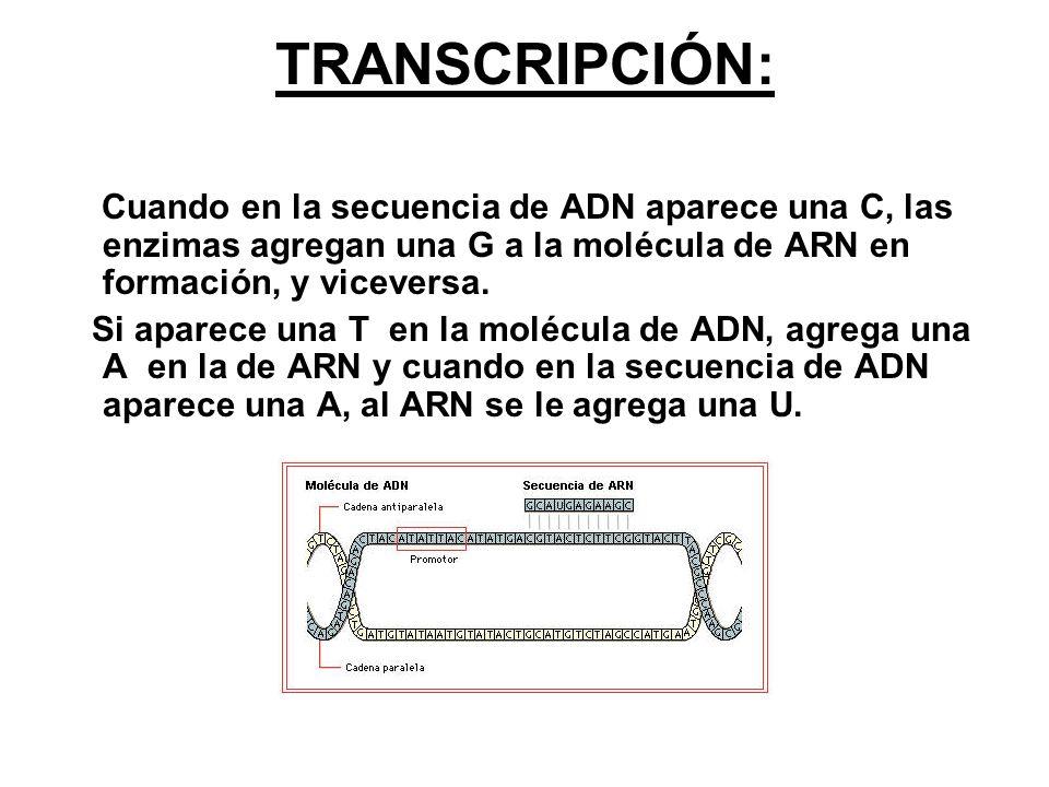 TRANSCRIPCIÓN: Cuando en la secuencia de ADN aparece una C, las enzimas agregan una G a la molécula de ARN en formación, y viceversa.